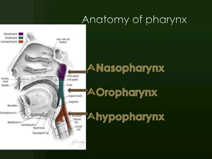 The Anatomy Of Oropharynx Ct