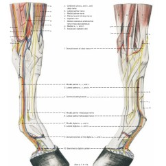 Leg Muscles And Ligaments Diagram Tao 110 Atv Wiring Anatomy Of The Horse