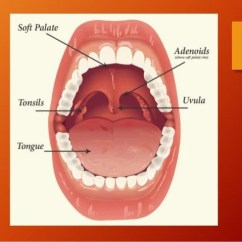 Facial Trigeminal Nerve Diagram Light And Switch Wiring Anatomy Of Tonsil Oropharynx
