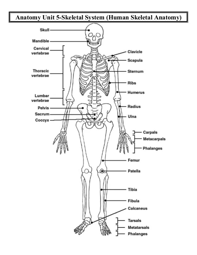skeletal and muscular system diagram cat 5 telefon anatomy unit systems human d