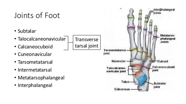 joints of the foot diagram hvac control wiring ankle joint bones 11