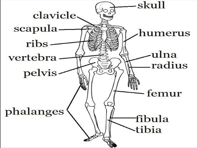 SKELETAL SYSTEM PP For Kids