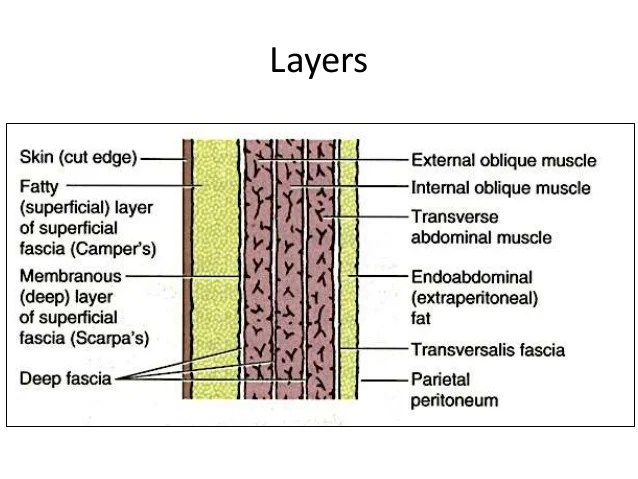 7 layers of skin diagram microbiology prokaryotic cell labeled abdominal wall data wiring today anterior abdomen arteries posterior
