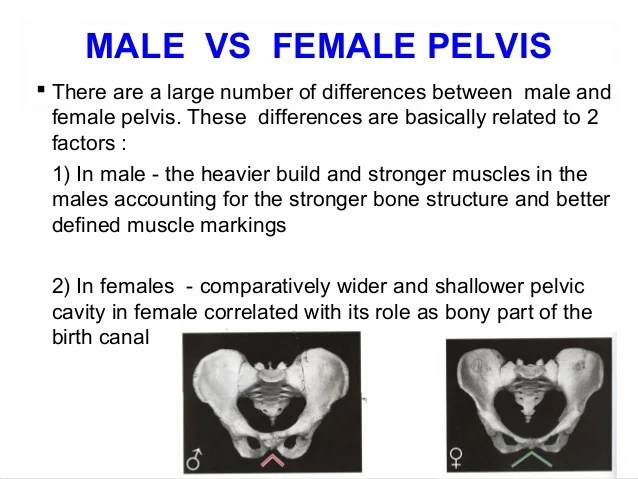 Pubococcygeus Muscles Men