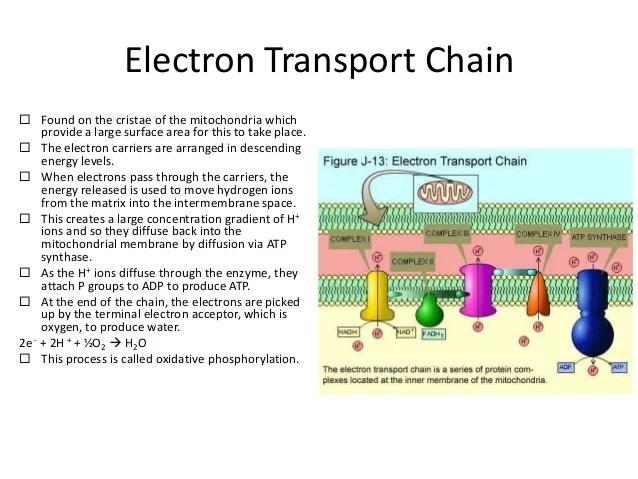 simple electron transport chain diagram goodman wiring air conditioner glycolysis cycle ~ elsavadorla