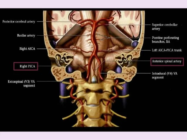 Famous Vertebrobasilar Artery Photo - Internal organs diagram ...