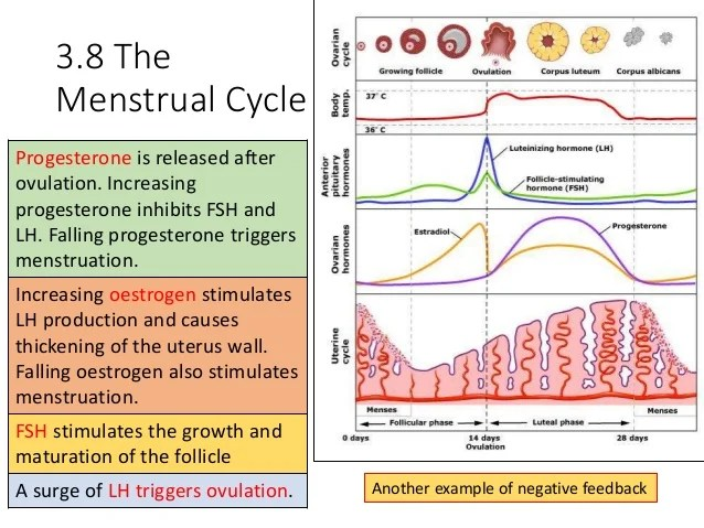 menstrual cycle diagram with ovulation human silhouette b3 revision powerpoint