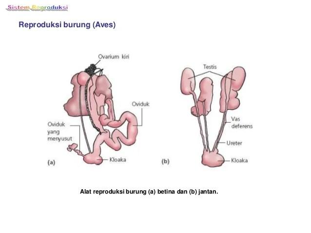 sistem reproduksi I