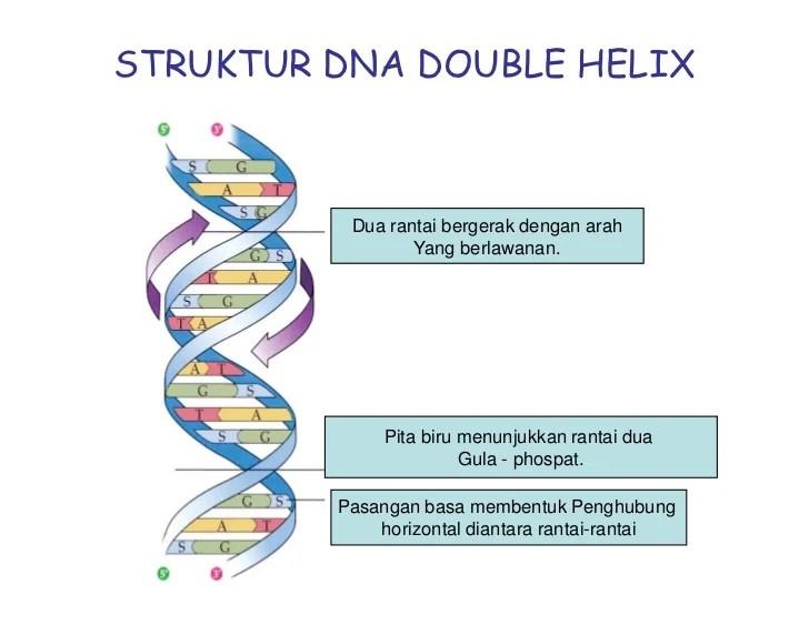 Γέννω, genno, yang berarti melahirkan) adalah cabang biologi yang. substansi genetika ismail