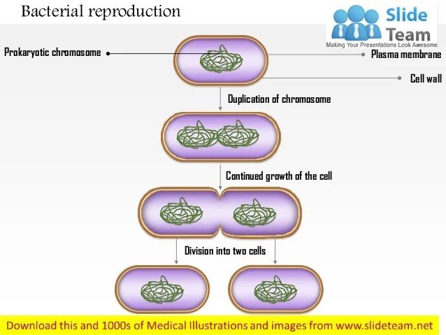 Bacterial reproduction medical images for power point