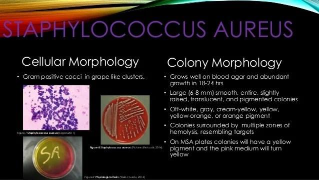 E Coli Colony Morphology