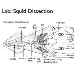 Labeled Squid External Anatomy Diagram 2001 Ez Go Gas Golf Cart Wiring 5t Sprachentogo De Dissection Related Keywords Suggestions Rh 3 13 19 Masonuk Internal Body