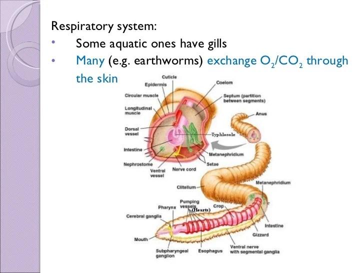 earthworm digestive system diagram nema l14 30 wiring 2 biol 11 lesson 3 mar 8 - ch. 27 annelida
