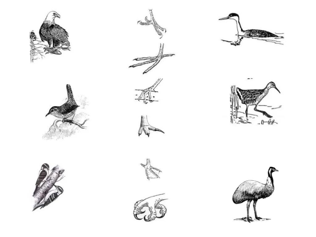 Bird feet (Teach)
