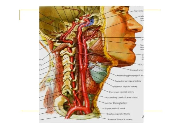 lower brain diagram seymour duncan active wiring blood supply of the