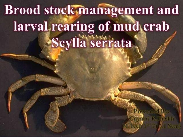 Brood stock management and larval rearing of mud crab scylla serrata
