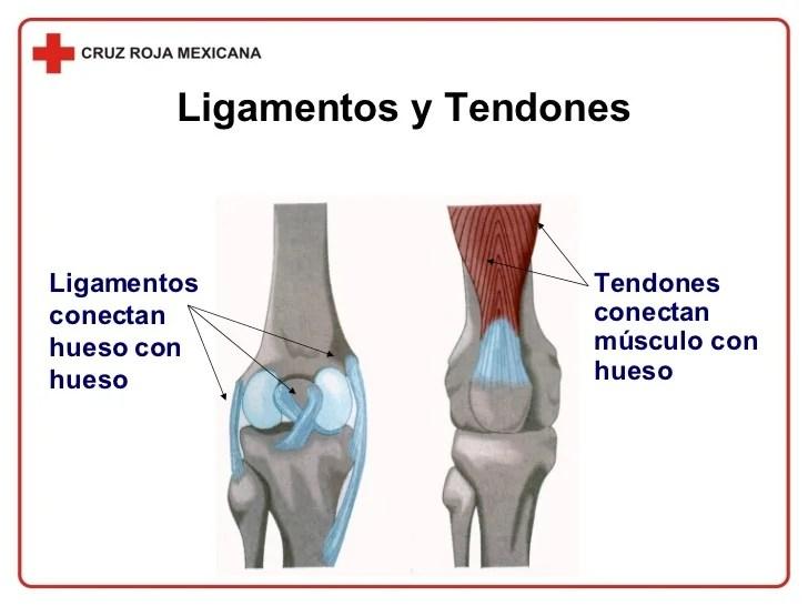 Resultado de imagen de tendones y ligamentos