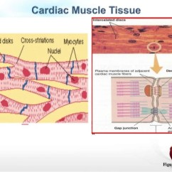 Cardiac Muscle Labeled Diagram Power Steering Rack And Pinion Tissue Great Installation Of Wiring Physiology Rh Slideshare Net Skeletal Structure