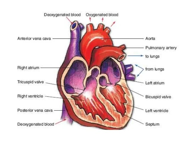 where are your lungs located in back diagram hydrologic water cycle cardiovascular and respiratory system