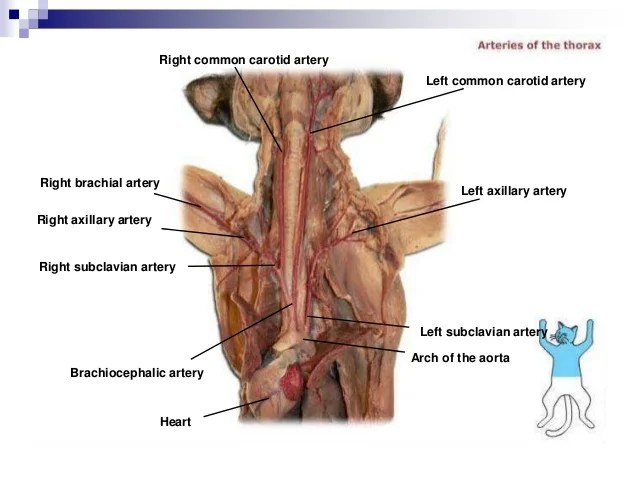 cat dissection muscle diagram back hobby caravan 12v wiring lab labeled images hepatic portal vein superior mesenteric 76