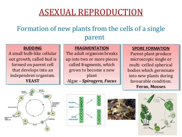 spirogyra cell diagram 99 ford ranger xlt radio wiring cbse grade 7 chapter 11 reproduction in plants
