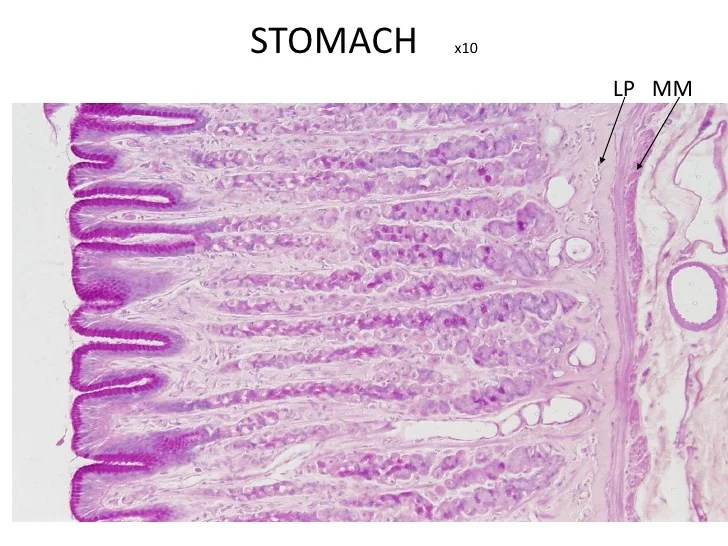 C:\\Documents And Settings\\User\\Desktop\\Stomach Histology