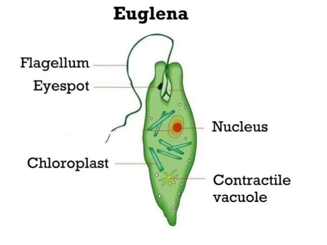 euglena diagram blank 2001 dodge durango trailer wiring cell the basic unit of life organelle is a specialised membrane bound structure with in eukaryotic which perform specific task