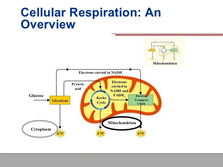 explain krebs cycle with diagram grote 900 turn signal switch wiring cellular respiration
