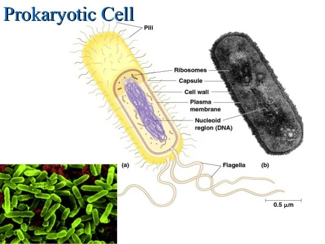 Gonorrhea Bacteria Diagram Prokaryotic Cell Cell Lacking