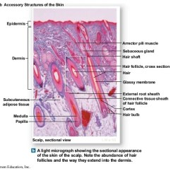 Skin Cross Section Diagram Tachometer Install Fox Body Dr. B Ch 04_lecture_presentation