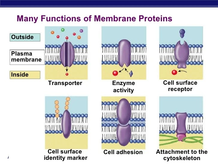bacterial cell diagram and functions apple home network setup membrane