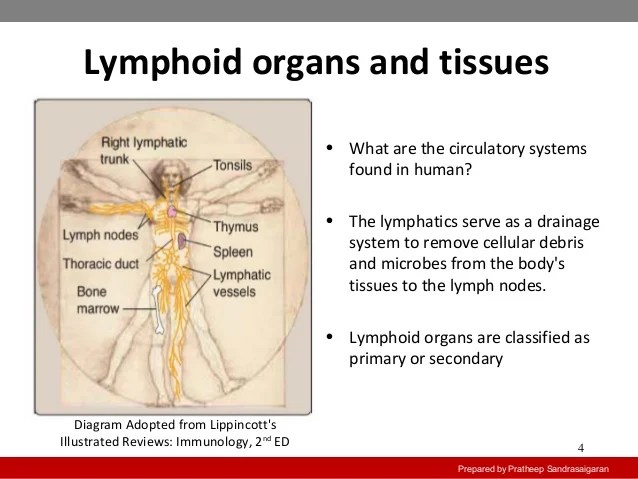 immune system diagram sarcomere unlabeled primary and secondary lymphoid organs