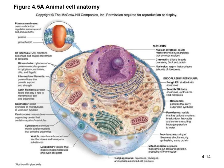 animal cell diagram labeled and functions porsche 944 starter wiring ch 4 structure function of cells figure 5a anatomy