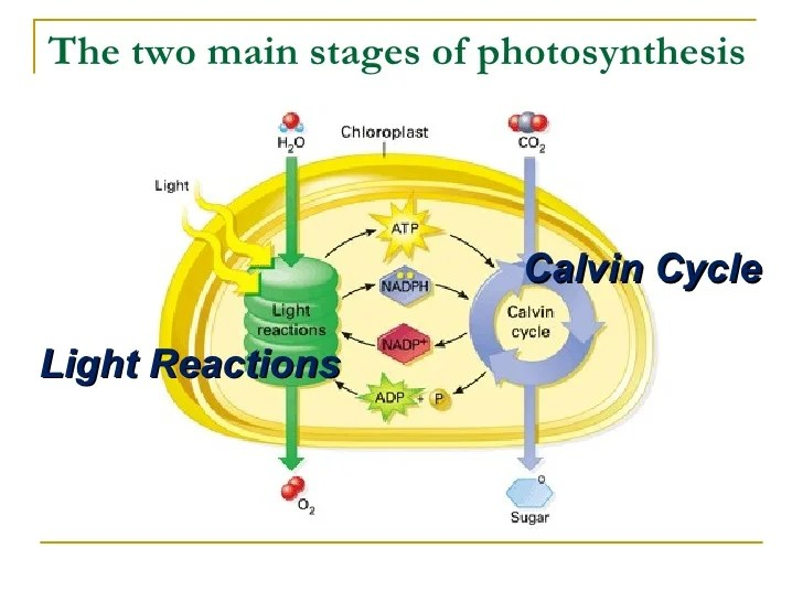 diagram with inputs and outputs of photosynthesis process chevy radio wiring diagrams which the following are
