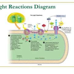 Light Reactions Photosystem Diagram 1988 Ford F150 Belt Reaction Great Installation Of Wiring Powered Ground Outline Elsavadorla Dependent