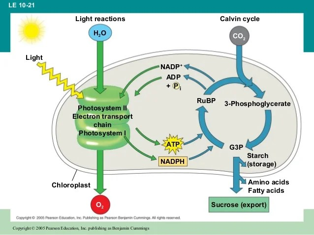 calvin cycle diagram toyota hilux wiring chapter 10: photosynthesis