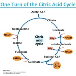 Electron Transport Chain Diagram For Dummies Stem And Leaf Questions L-malate Citric Acid Cycle Related Keywords - Long Tail ...