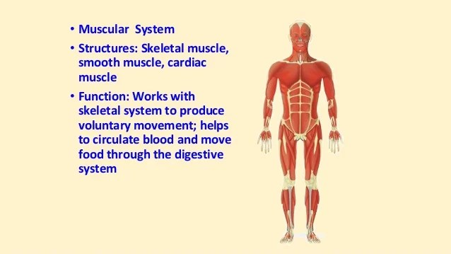 Excretory System Works Muscular System