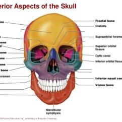 Axial Skeleton Skull Diagram C Bus Wiring Diagrams Control Chapter 7a Human