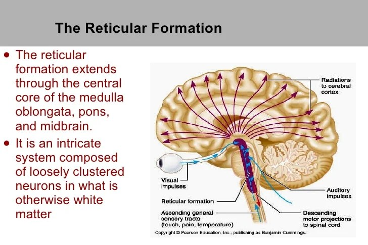 reticular formation diagram furnas drum switch wiring cns 14 the ul li extends through central