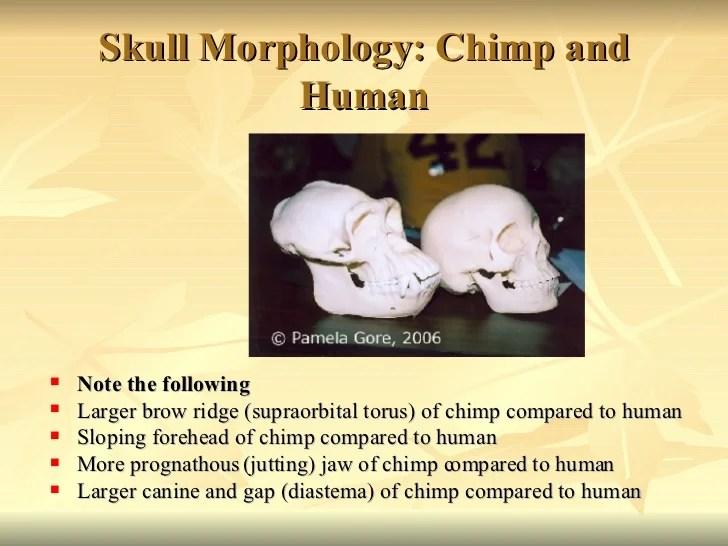 chimpanzee skull diagram gibson wiring comparative primate anatomy