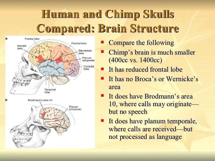 chimpanzee skull diagram avital 3100 alarm wiring comparative primate anatomy
