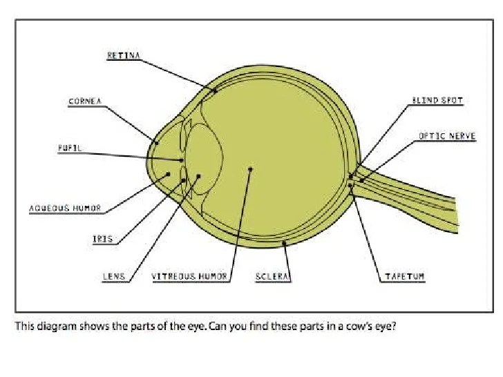 Cow's Eye Dissection Instructions