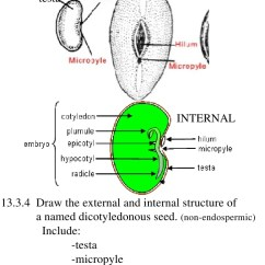 Labelled Diagram Of Xylem And Phloem 2004 Subaru Impreza Radio Wiring Ib Biology Draw Assessment Statements