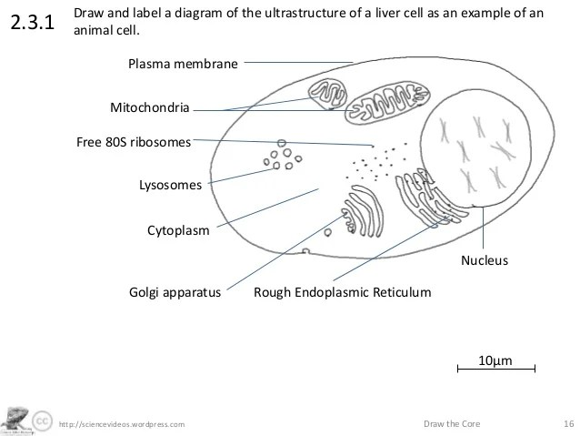 onion cell diagram ac wiring for car http://sciencevideos.wordpress.com draw the core 162.3.1draw