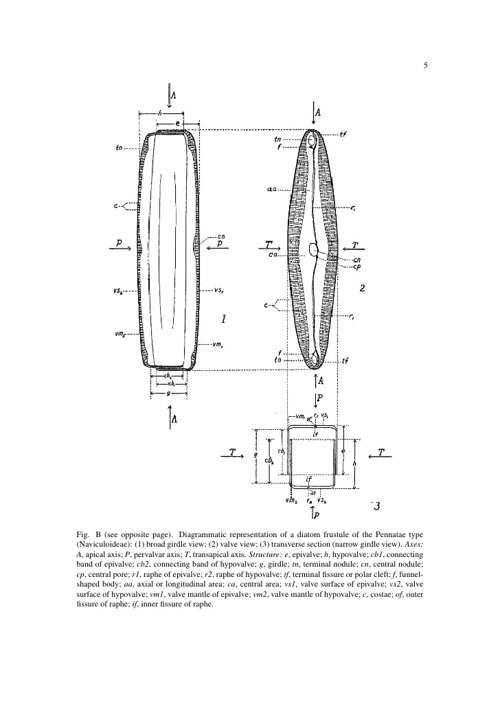 Ee cupp diatoms