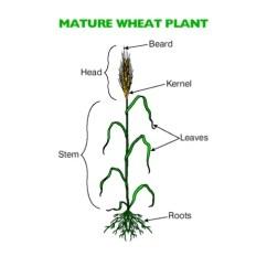 Grain Kernel Diagram Bobcat S250 Wiring Wheat Head Great Installation Of A Plant Rh 112 Raepoppweiss De Parts