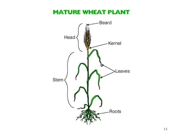 grain kernel diagram winnebago itasca wiring diagrams wheat head great installation of a plant rh 112 raepoppweiss de parts