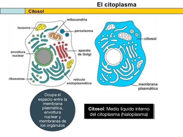 el citosol y las estructuras no membranosas de la clula 2013 5 638 - ▷ Citosol Función y definición