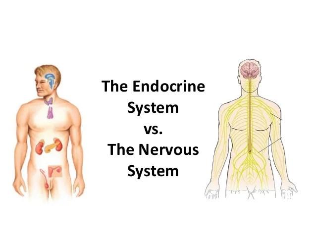 endocrine system diagram 2005 honda accord parts v nervous